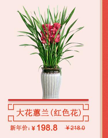 大花蕙兰(红)