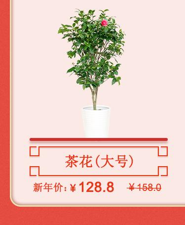 茶花(大)